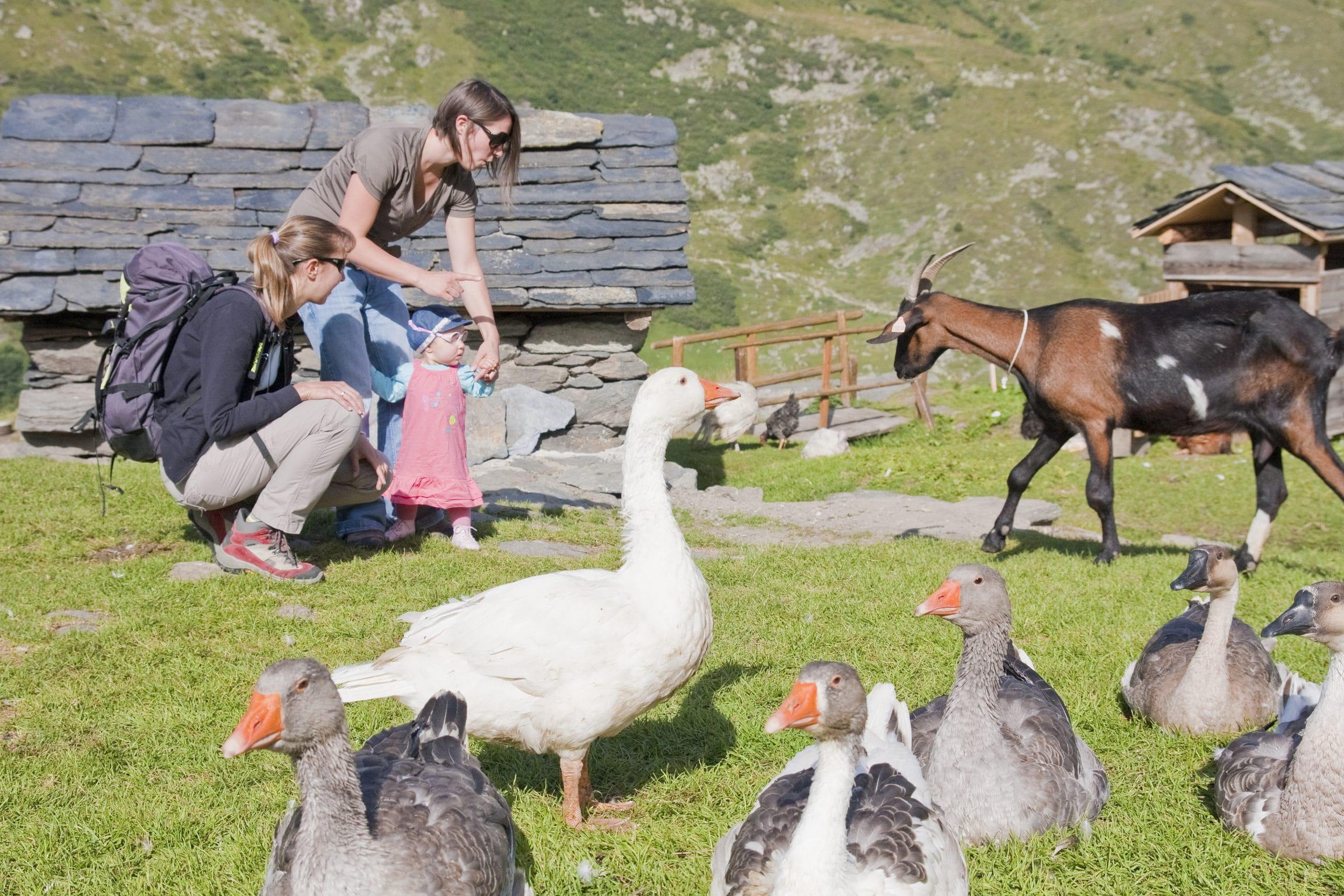 Chèvres et oies